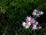 Crocuses on the grass