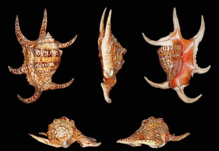 Chiragra Spider Conch - BEACH, SHELL, CONCH, SPIDER, DESIGN