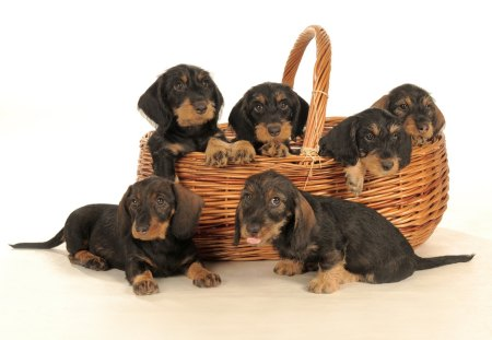 Adorable bunch of dacshund puppies - puppies, bunch, basket, adorable, dachshund, dogs, dog