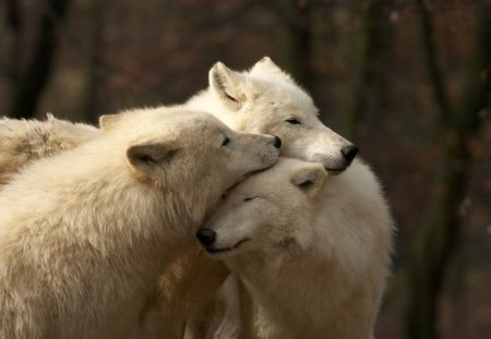 Pack of White Wolves - nature, wolf, white, animals
