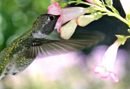 Pretty Hummingbird - flowers, animal, beautiful, fast, hummingbird, little, quick, bird