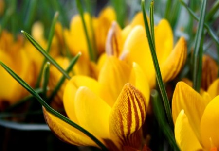 crocuses - yellow, flowers, spring, crocuses