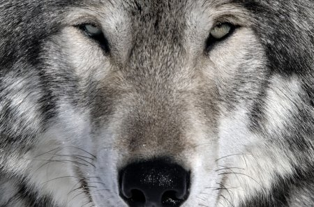 The Wolf - canine, totem, vicious, fetish, wild, Native American, protected species, wolf, forests, wolves, dog