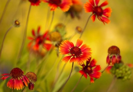 Orange daisies - greenery, grass, orange, summer, daisy, garden, yellow