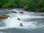 Bears in River in Alaska