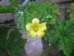 Pare Yellow Flower