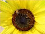 macro ape su girasole - bee on sunflower