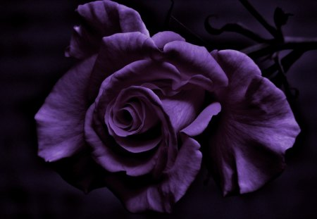 Purple Rose - Purple, rose, flower, roses, Feeling