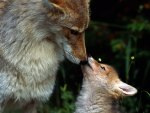 Mother Fox and Baby
