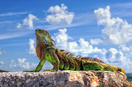 Lizard - colorful, lizard, beautiful, animals