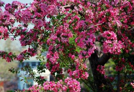 Apple tree blossom - apple, flowery, spring, pink, tree, nature, beutiful, blossom