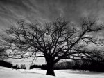 Big Oak Tree and Snow