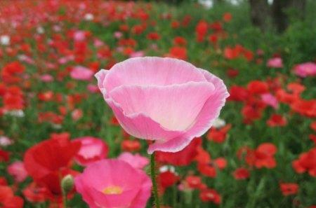 Pink Poppy Flowers Nature Background Wallpapers On Desktop Nexus