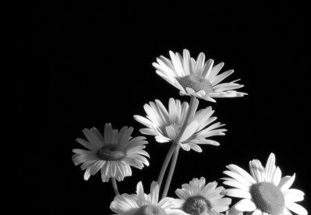 daisies black amp white flowers amp nature background