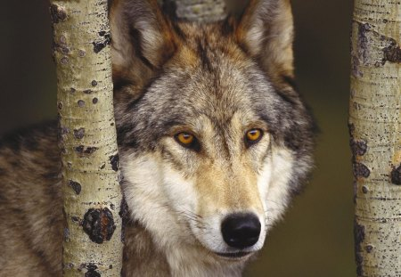 Iberian Wolf - iberian, wolf, animals, spain, grey wolf, wolves
