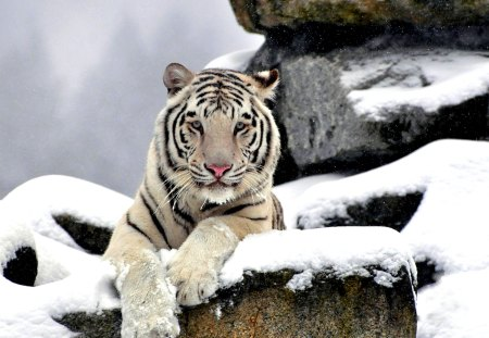 GRACEFUL WHITE TIGER - predator, rocks, snow, face, tiger, white, waite tiger