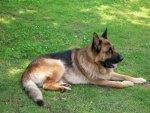 Big german shepherd