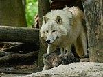 Wolf mama and pups