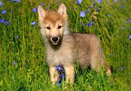 Pretty wolf dog - wolf dog, carnivora, canidae, canis lupus