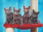 Four russian blue kittens sitting pretty