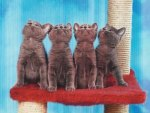 Four russian blue kittens looking up