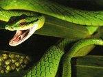 Parrot Snake 2