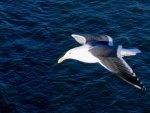 Sea-going Gull 1