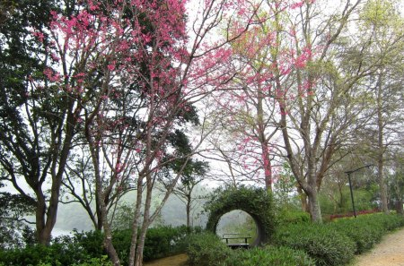 Lakeside garden - garden, viewing seat, cement hole, Prunus campanulata, plants, Lakeside, lake