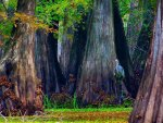 Blue Heron hiding in giant bald Cypress