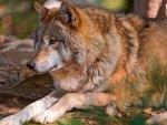 The Beauty of Wolves