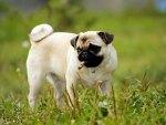 The Little Pug