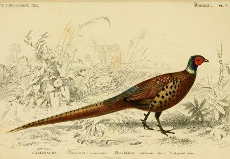 Pheasant Birds Animals Background Wallpapers On Desktop