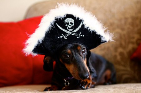 Dachshund, the pirat - cute, pet, pirat, adorable, dachshund, dog