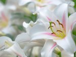 Lilies~A Symbol of Easter