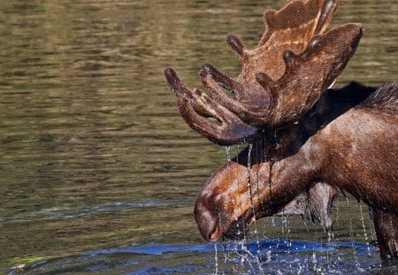 moose - water, moose, wild, animal