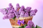 *** Basket of lilacs ***