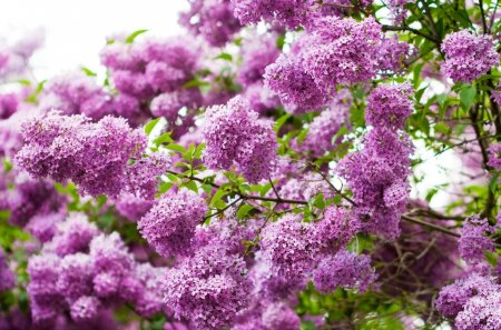 Lilac - lilac, purple, bloom, green, flower, nature, spring, pink