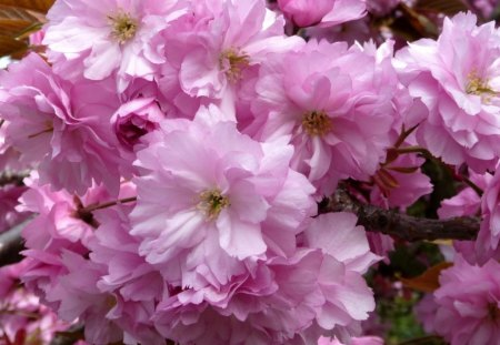 Cherry blossoms - flower, nature, spring, pink, cherry blossoms