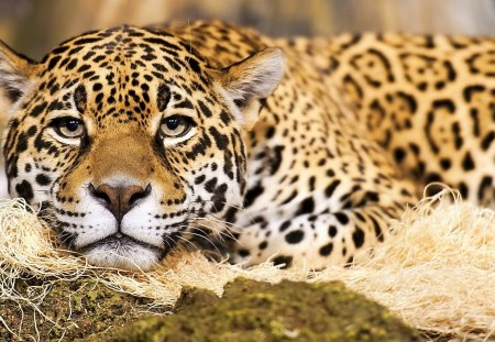 Jaguar Big Cat - beautiful, cat, endangered, nature, big cat, jaguar, wild