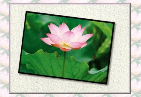 Lotus Blossom - beauty, love, flower, romance, lotus, floral, photography, wide screen, photo