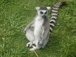 Ring-tailed Lemur Meditating