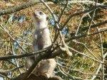 Slender-tailed Meerkat Treetop Sentry