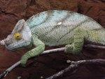 Parson's Chameleon On Branch