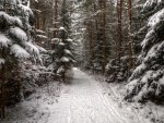 wonderful winter path in tall forest