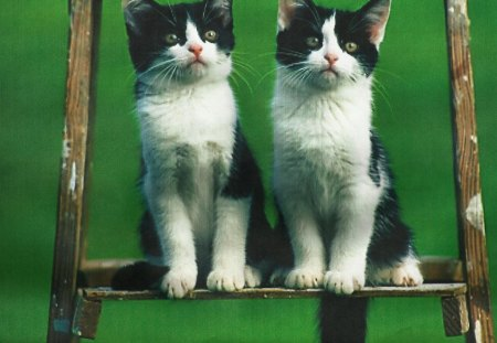 Twin cats on a ladder - feline, twin, green, ladder, cats