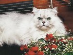Persian silver cat laying by cello and roses