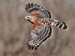 Red-shoudered Hawk 1