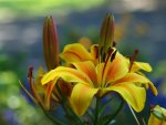 *Oriental LiLy*
