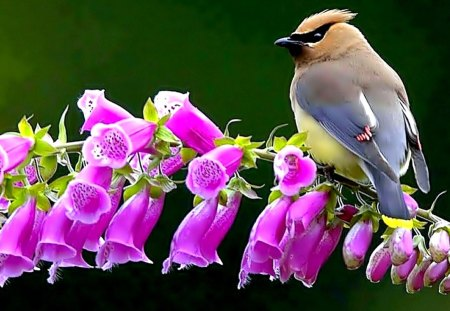SPRING BIRD - Bohemian, Waxwing, spring, branch, flower, bird
