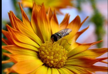 Fly On Flower - Flower, Fly, Nature, Bug